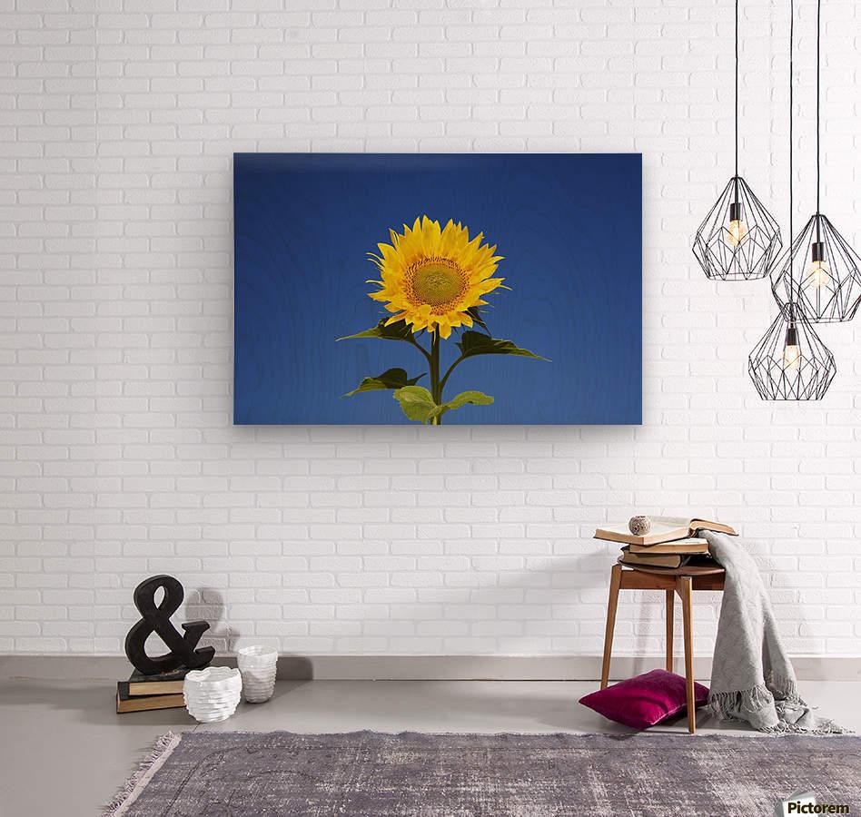 Laval, Quebec, Canada; Sunflower (Helianthus Annuus) Against A Blue Sky  Wood print