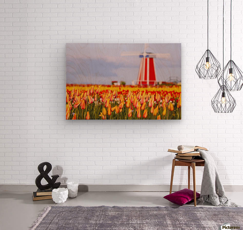 Woodburn, Oregon, United States Of America; A Field Of Tulips And A Windmill At Wooden Shoe Tulip Farm  Wood print