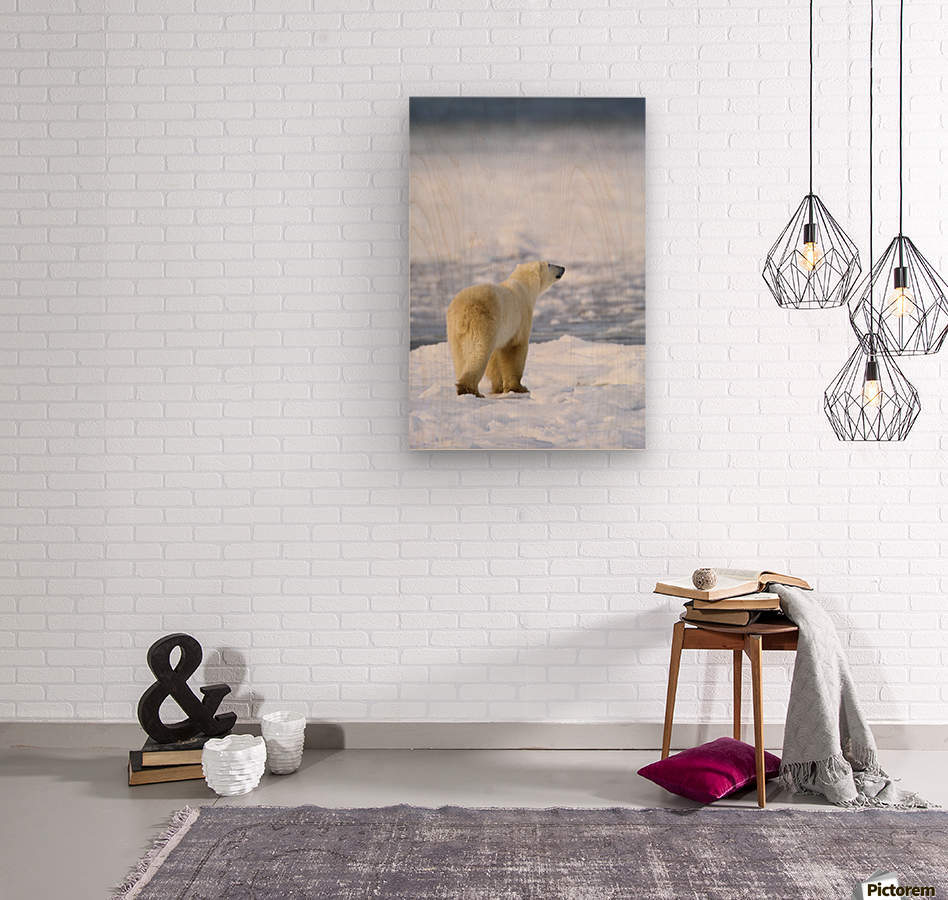 Polar Bear (Ursus Maritimus) Sniffs The Air As He Is On The Hunt For Food; Churchill, Manitoba, Canada  Wood print