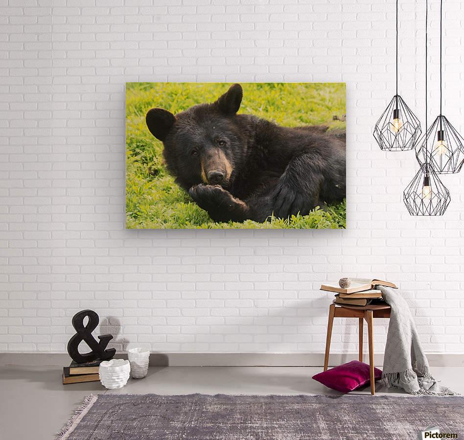 A black bear rolls around in the lush green grass  Wood print