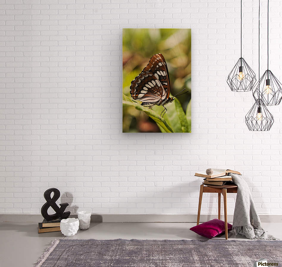 A White Admiral Butterfly (Limenitis arthemis) rests on a leaf; Astoria, Oregon, United States of America  Wood print