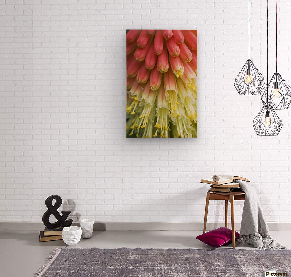 A red-hot poker plant blooms in a garden; Astoria, Oregon, United States of America  Wood print