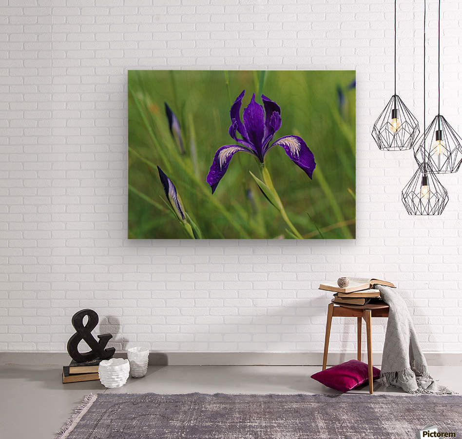 Oregon Iris (Iris tenax) blooms in the forest; Florence, Oregon, United States of America  Wood print