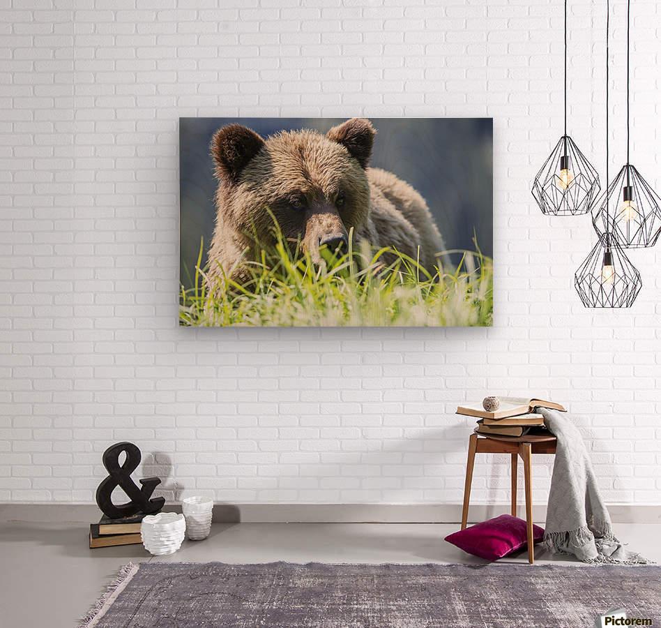 Grizzly Bear (Ursus Arctos Horribilis), Khutzymateen Sanctuary, near Prince Rupert; British Columbia, Canada  Wood print