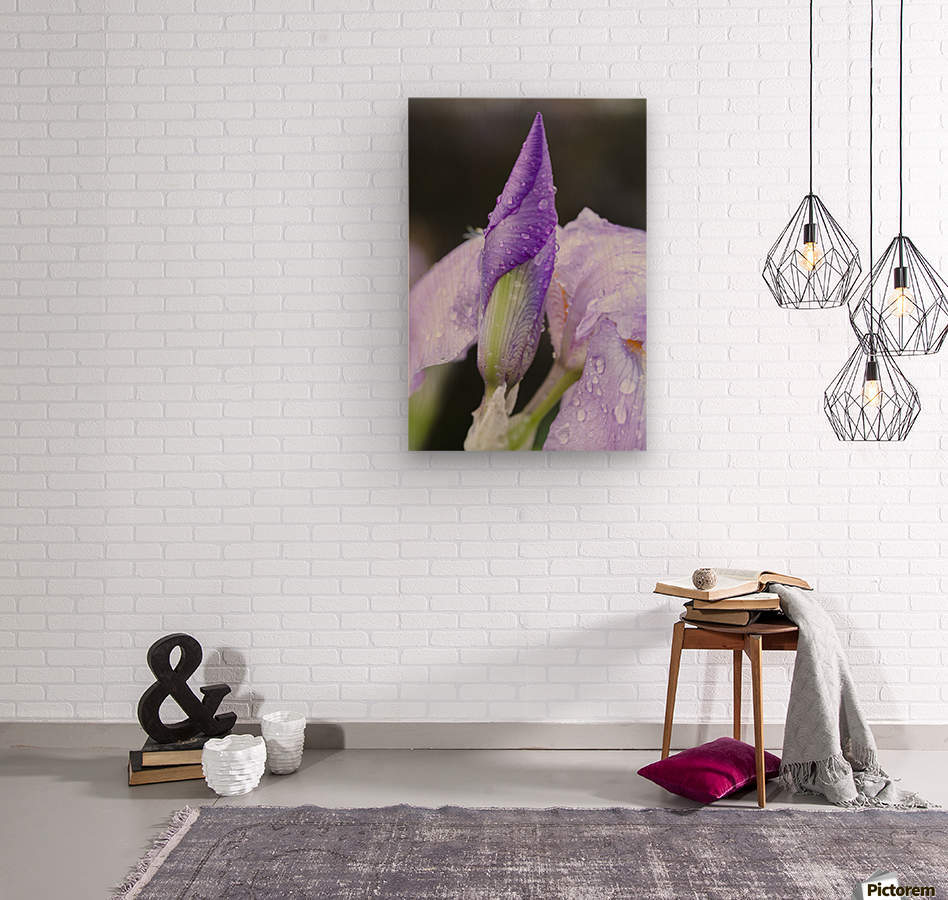Close up of Iris; Quebec, Canada  Wood print