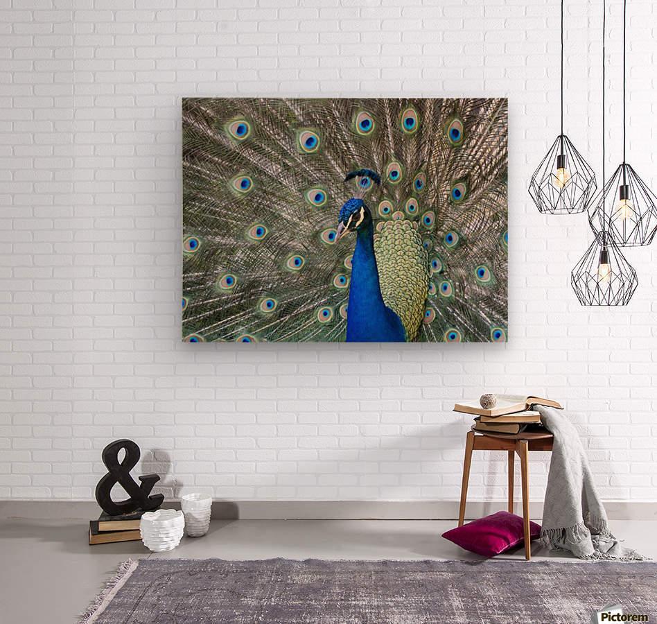 Peacock in full display mode attempting to attract a mate; Santa Cruz, Bolivia  Wood print