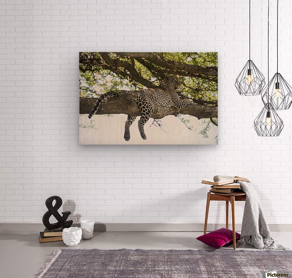 Leopard sprawled on tree limb near Ndutu, Ngorongoro Crater Conservation Area; Tanzania  Wood print