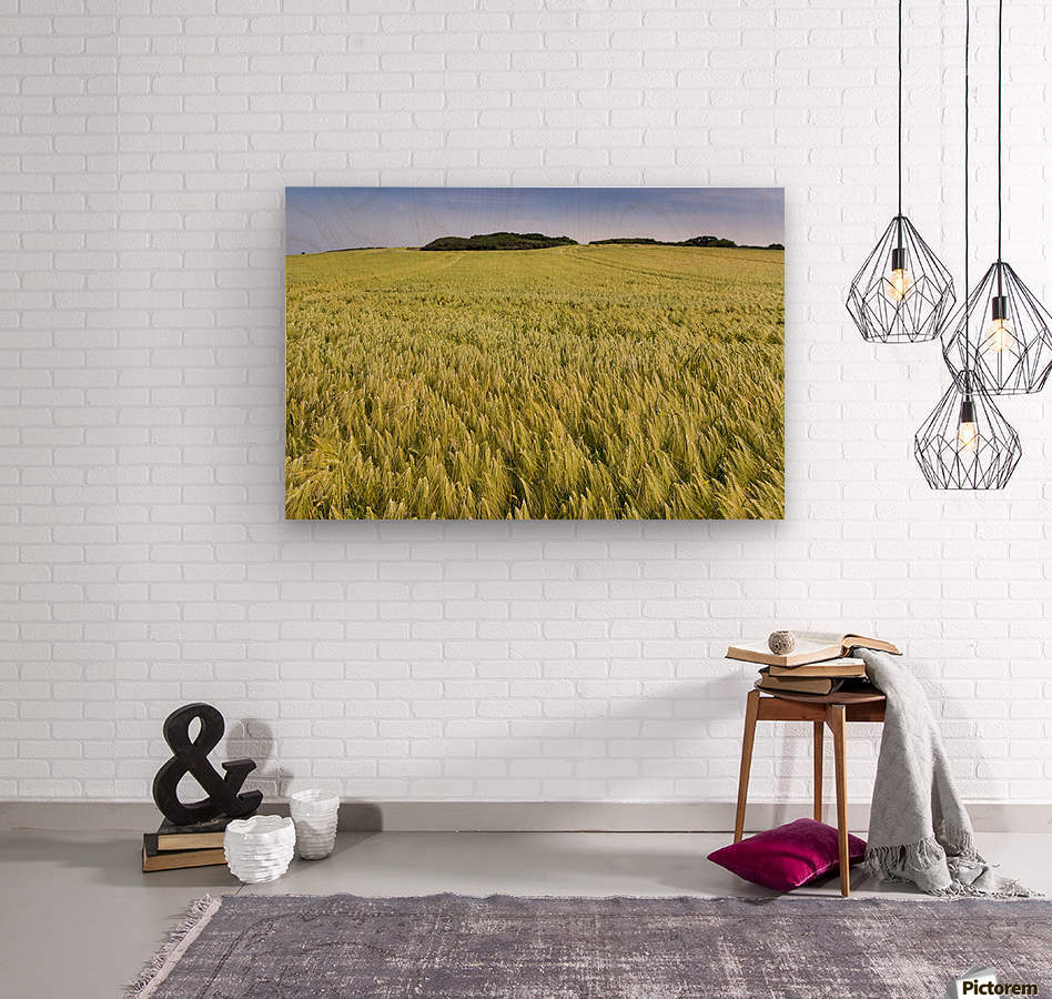 Wide angle image of a barley field with blue sky; Brittany, France  Wood print
