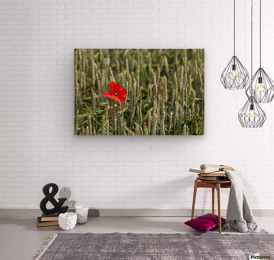 Close up of red poppy in a green wheat field; Brehec, Brittany, France  Wood print