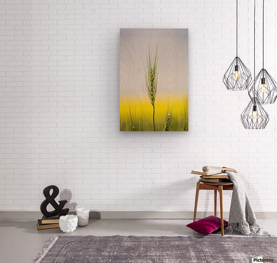 Close up of a green wheat head with the yellow colour of a flowering canola field in the background and blue sky; Acme, Alberta, Canada  Wood print