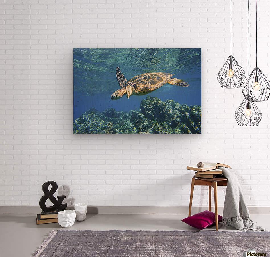 green sea turtle swimming in ocean sea  Wood print