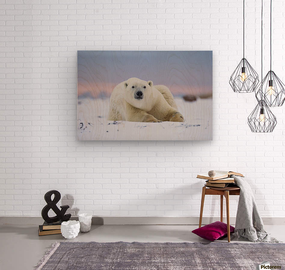 Polar bear (ursus maritimus) along the Hudson Bay coastline waiting for the bay to freeze over; Churchill, Manitoba, Canada  Wood print