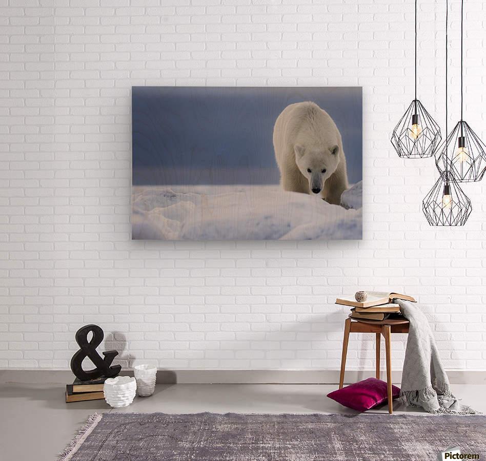 Polar bear (Ursus Maritimus); Churchill, Manitoba, Canada  Wood print