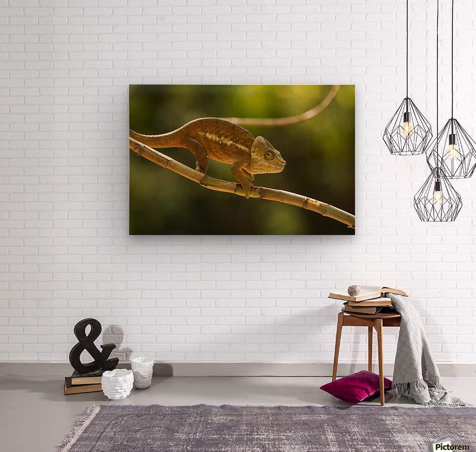 Chameleon in his natural habitat, Madagascar  Wood print