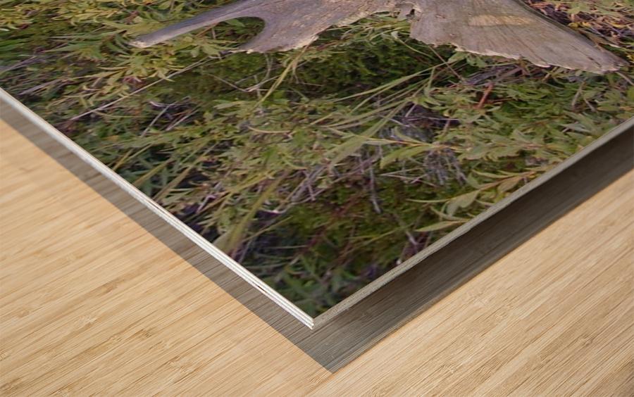 Moose antler Wood print