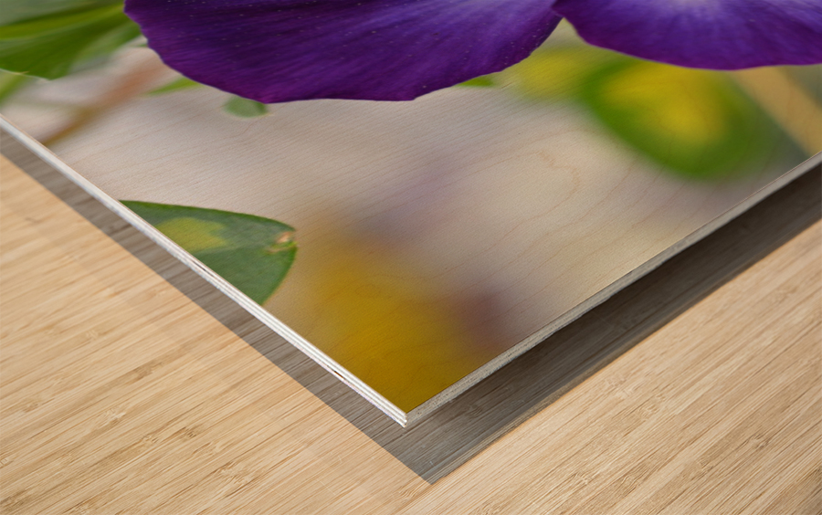 Blue Pansy Photograph Wood print