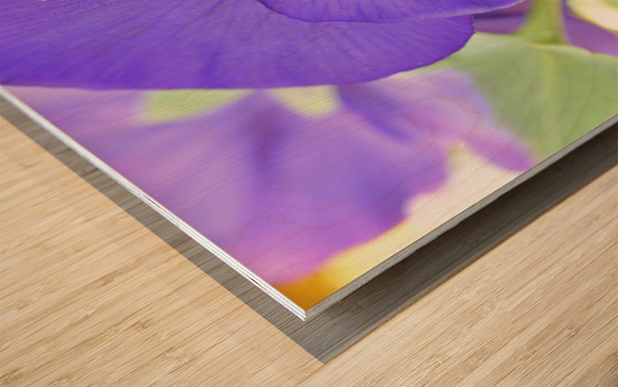 Blue Pansy Photograph Wood print