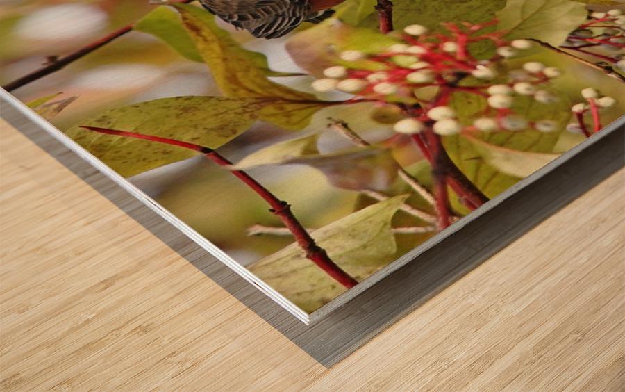 American Robin In Dogwood Wood print