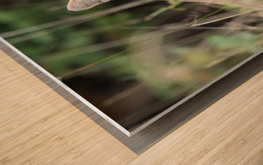 Curious Bobcat Wood print
