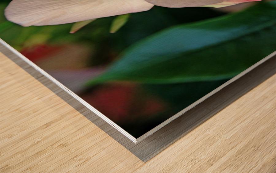 Mandevilla In Apricot Wood print