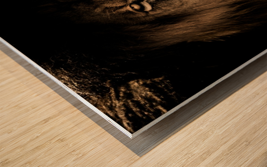 african lion wildcat mane closeup Wood print