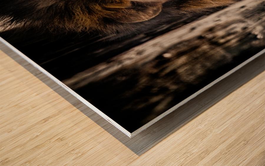 A Regal Lion Wood print