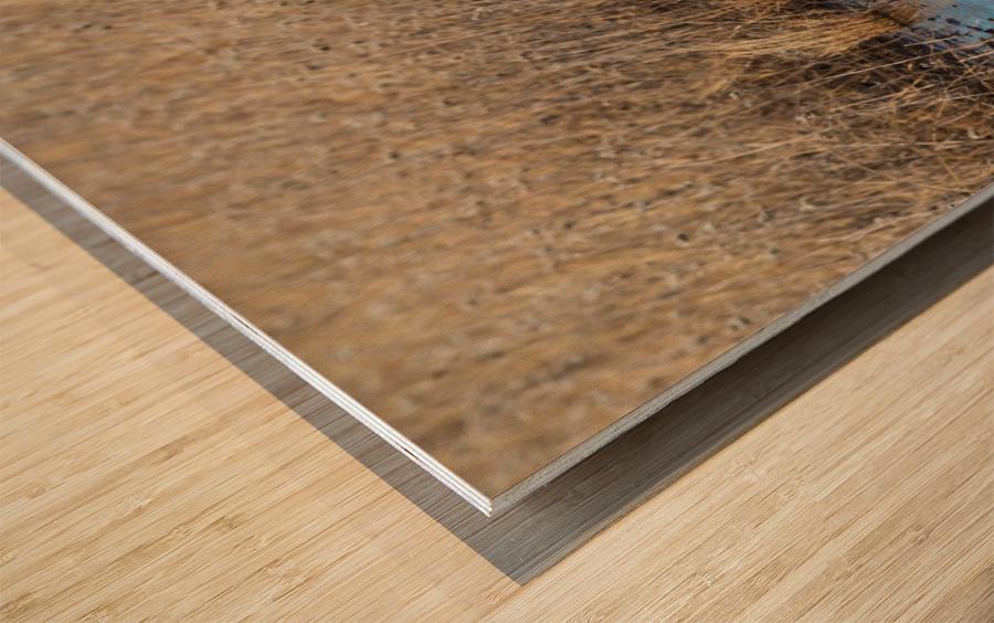 Canada Geese ap 2779 Wood print