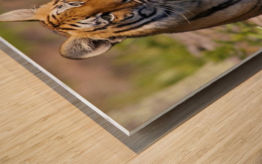 Tiger Watching Wood print