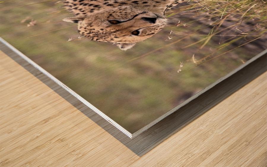 Cheetah (Acinonyx Jubatus), Masai Mara National Reserve, Kenya, Africa; Cheetah On The Prowl Wood print