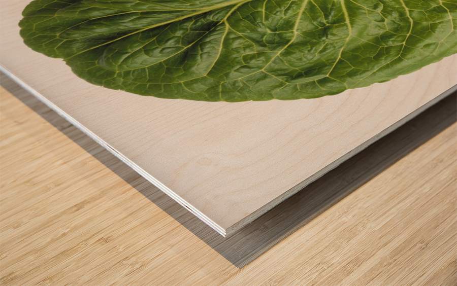 Agriculture - Closeup of a Romaine lettuce leaf on a white surface, studio. Wood print