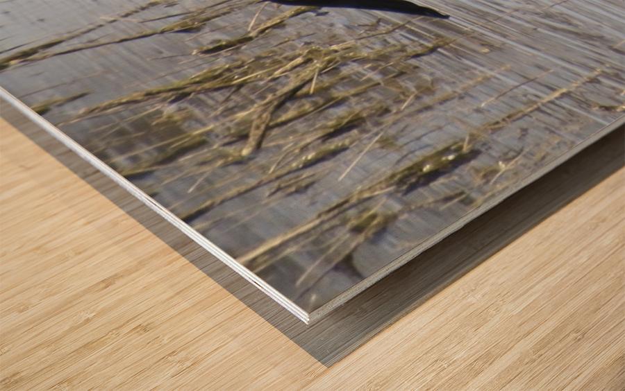 Northern Shoveler 1VP Wood print