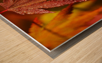 Japanese Maple (Acer palmatum) turning red in the autumn; Astoria, Oregon, United States of America Wood print