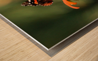 Mexican Sunflower With Red Admiral Wood print