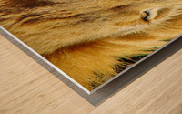 Lion Male Wood print