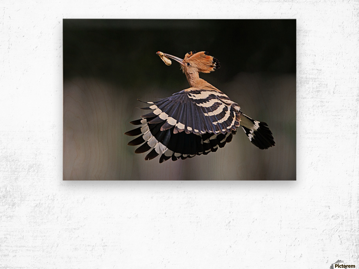 Hoopoe,Feeding.. Wood print