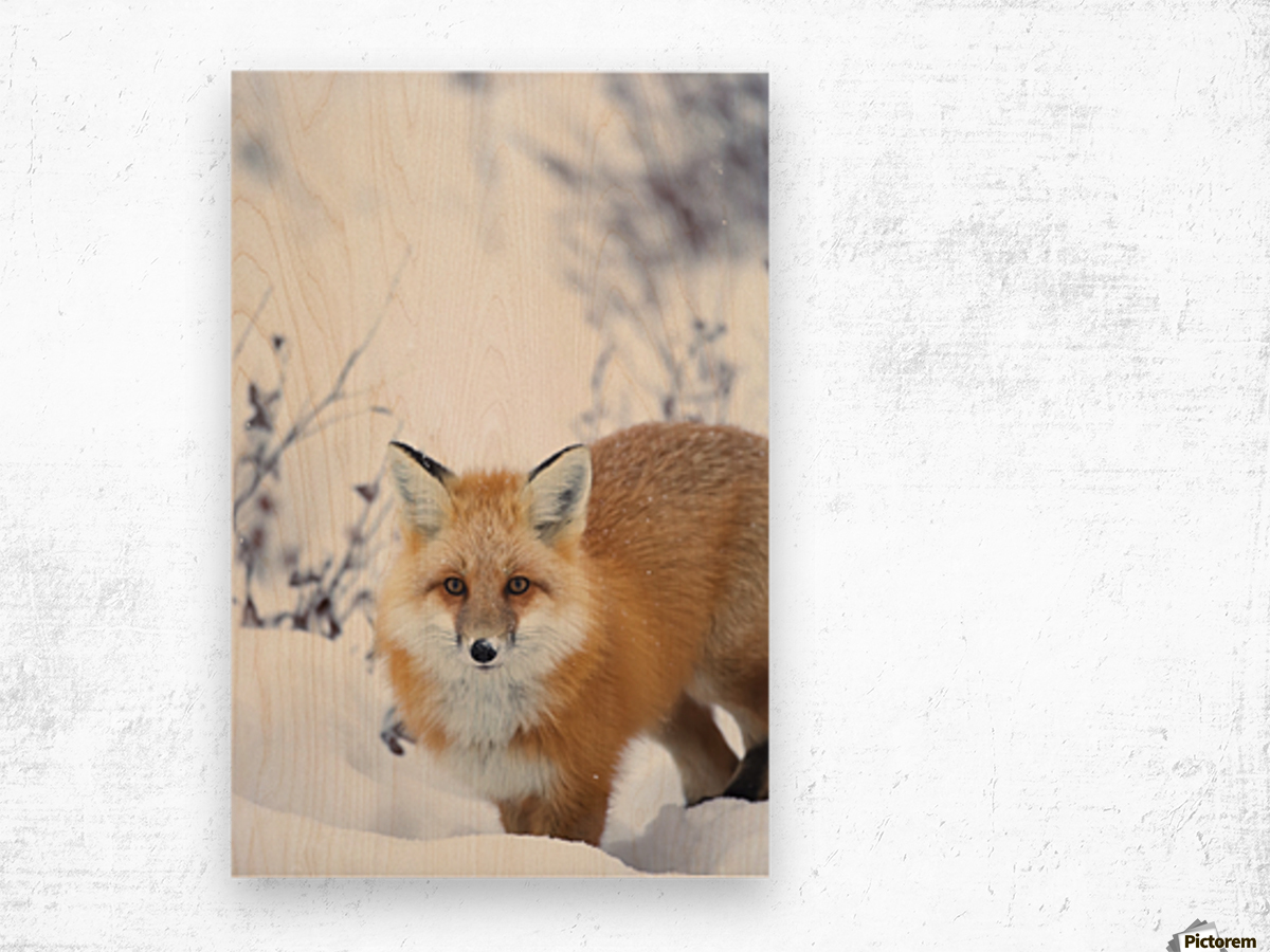 Red fox (vulpes vulpes) in the snow along the shores of the hudson's bay;Churchill manitoba canada Wood print