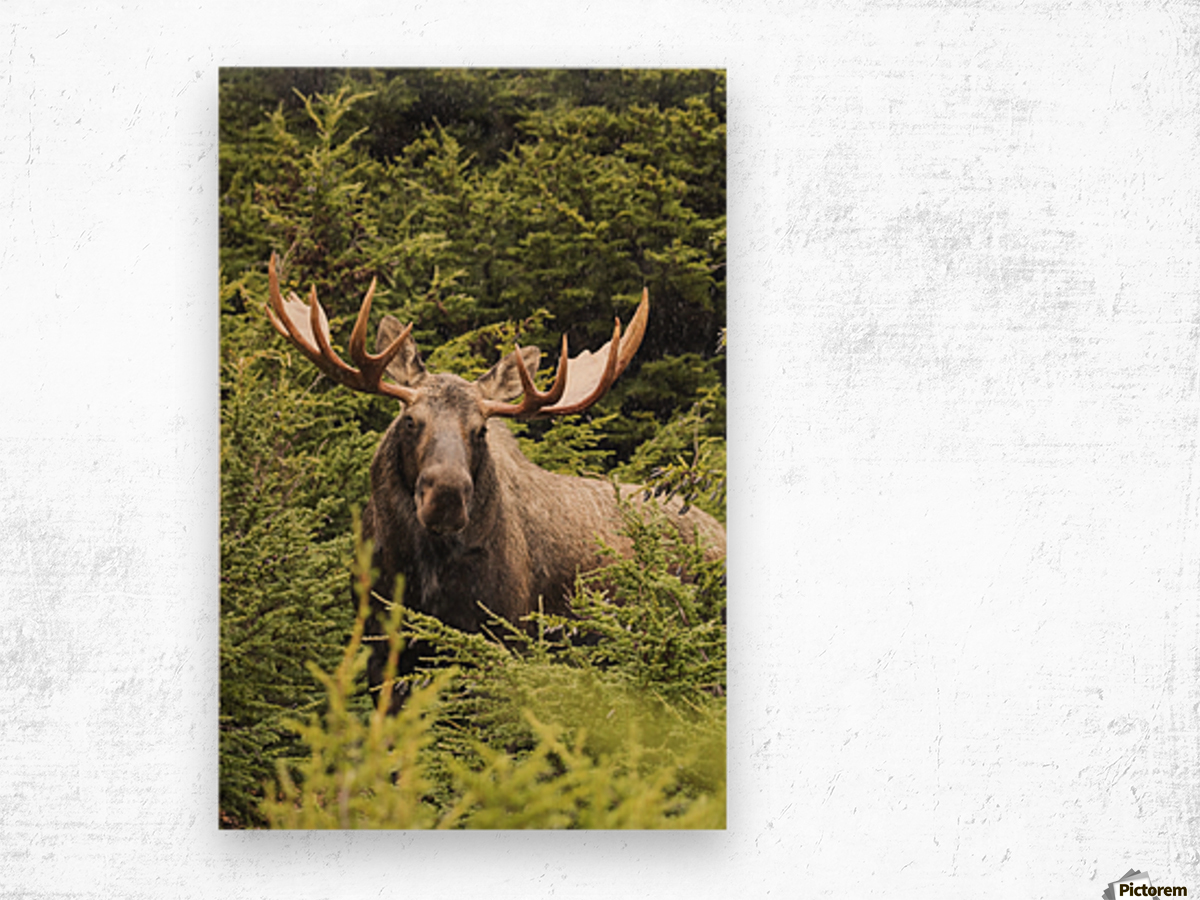 Bull moose (alces alces) in rutting period, Powerline Pass, South-central Alaska; Alaska, United States of America Wood print