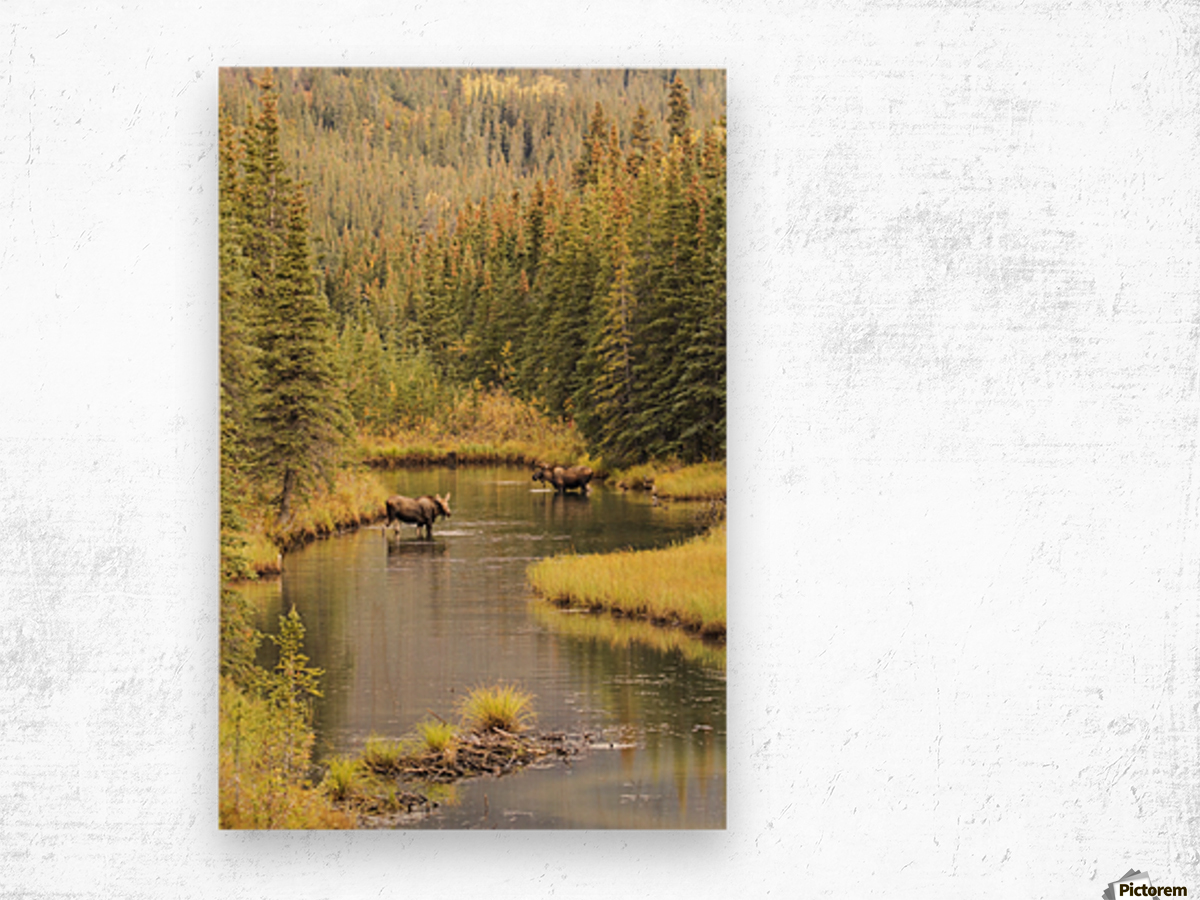 Bull and cow moose (alces alces) feeding in a shallow pond south of Cantwell, photo taken from Parks Highway common moose habitat; Alaska, United States of America Wood print