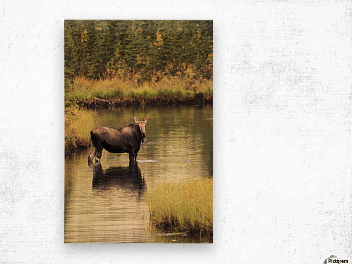 Moose (alces alces) feeding in a shallow pond south of Cantwell, photo taken from Parks Highway common moose habitat; Alaska, United States of America Wood print