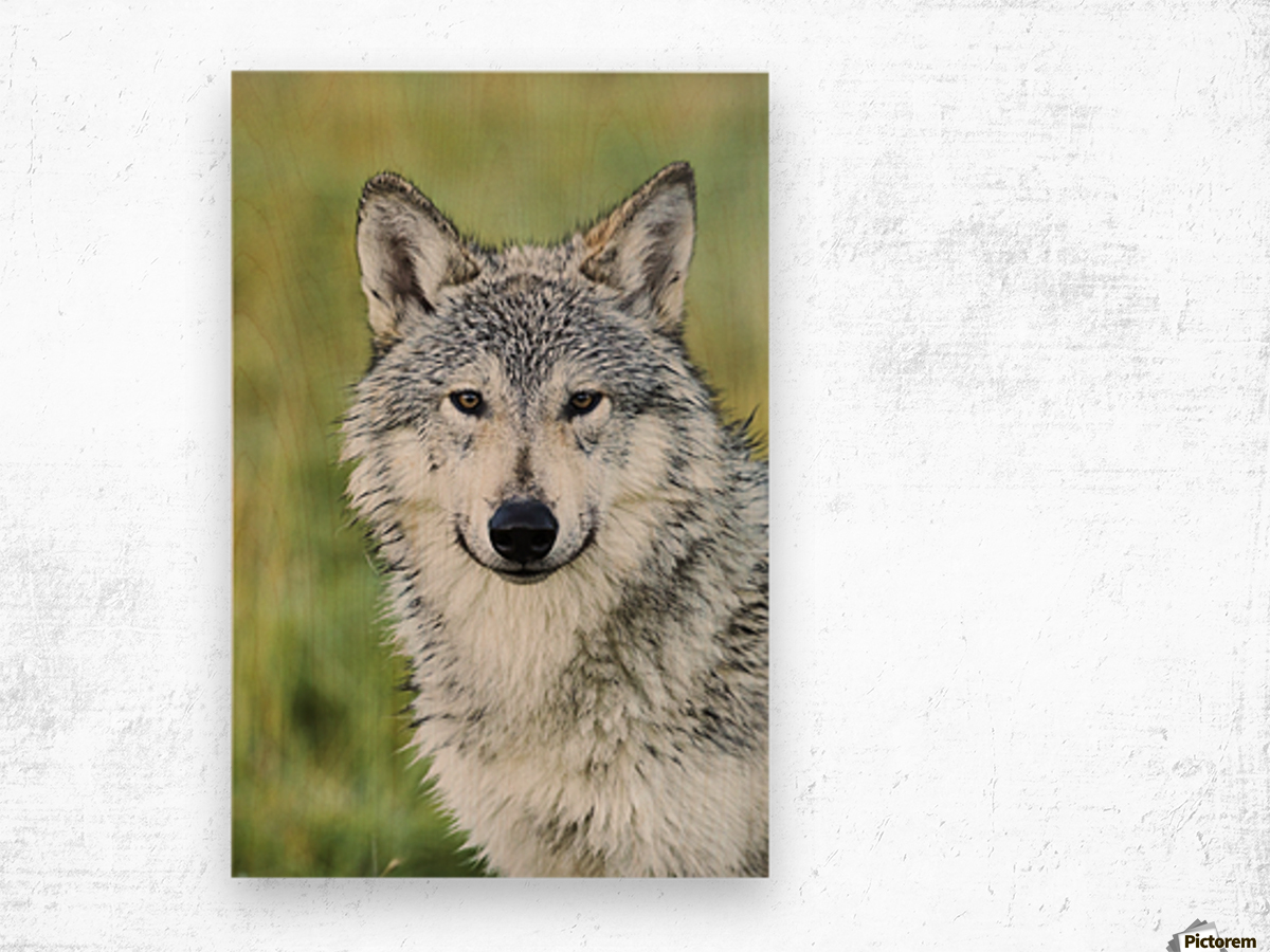 Immature female wolf (canis lupus), captive at the Alaska Wildlife Conservation Center, South-central Alaska; Portage, Alaska, United States of America Wood print