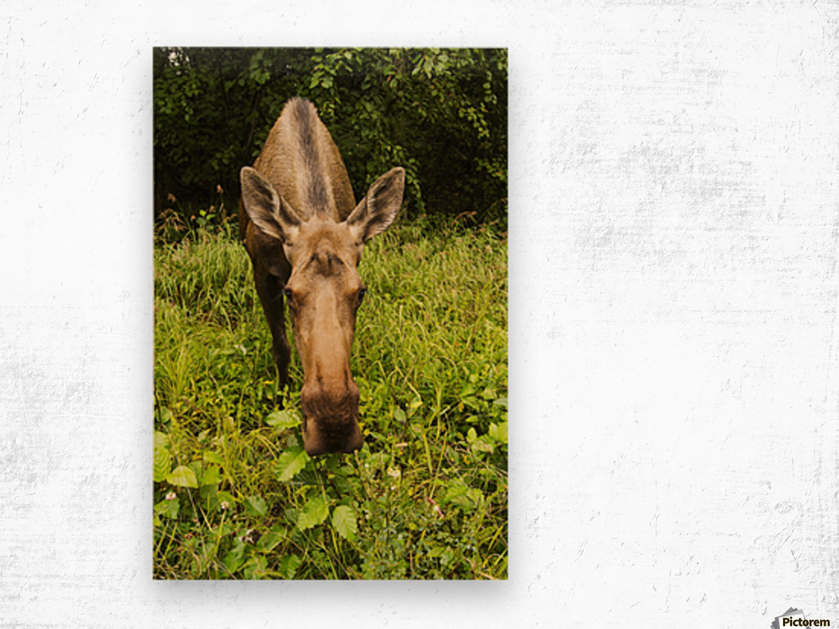 Cow moose (alces alces), close up with a wide angle lense, south-central Alaska; Alaska, United States of America Wood print