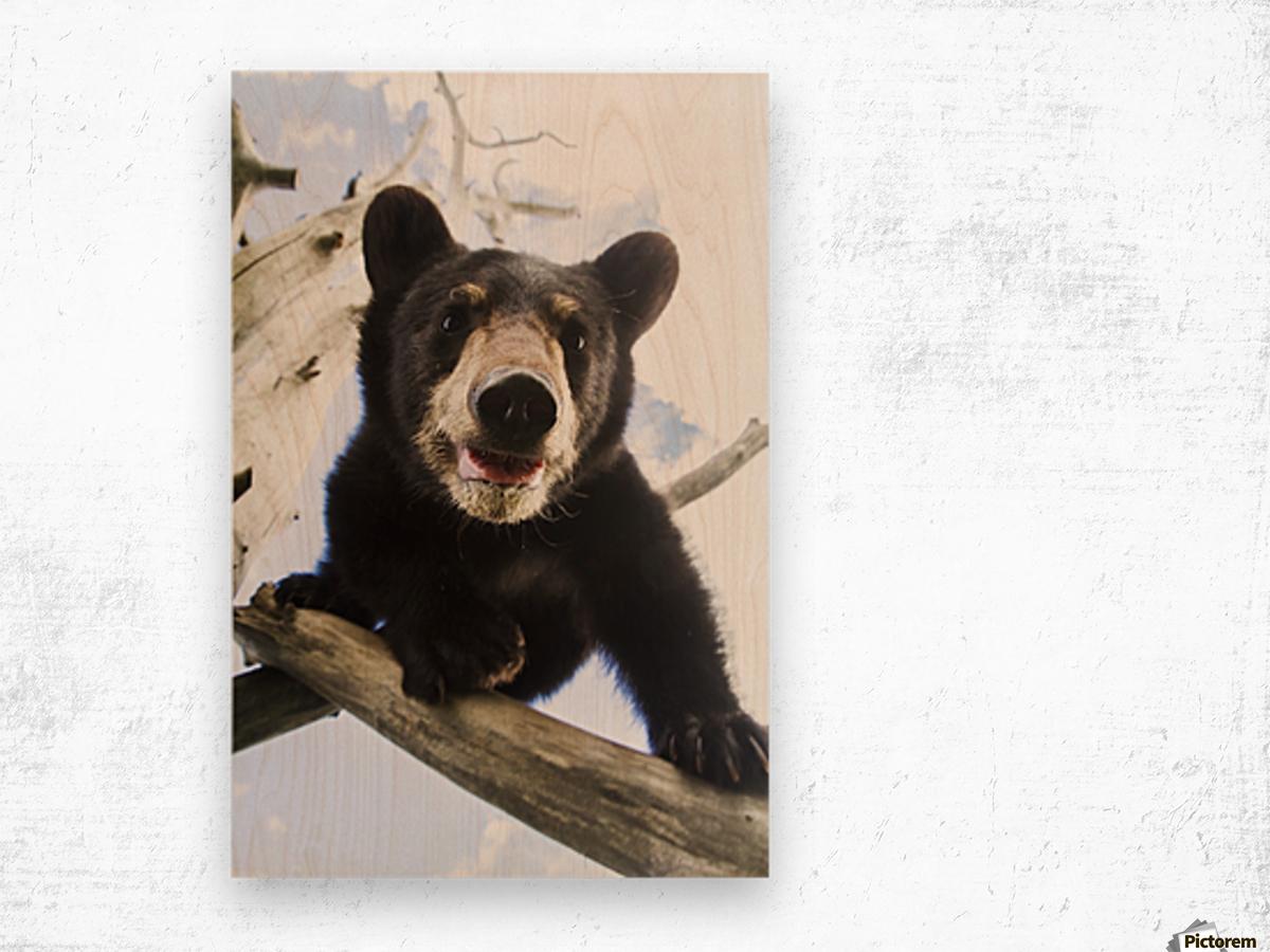 Black bear cub (ursus americanus), captive in Alaska Wildlife Conservation Center, South-central Alaska; Portage, Alaska, United States of America Wood print