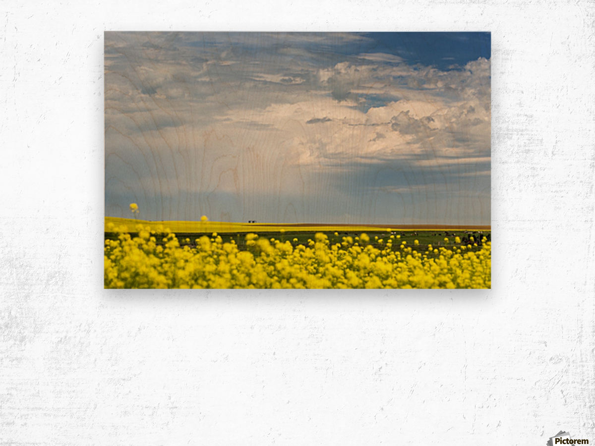 Flowering canola field with dark storm clouds and cattle grazing; Nanton, Alberta, Canada Wood print