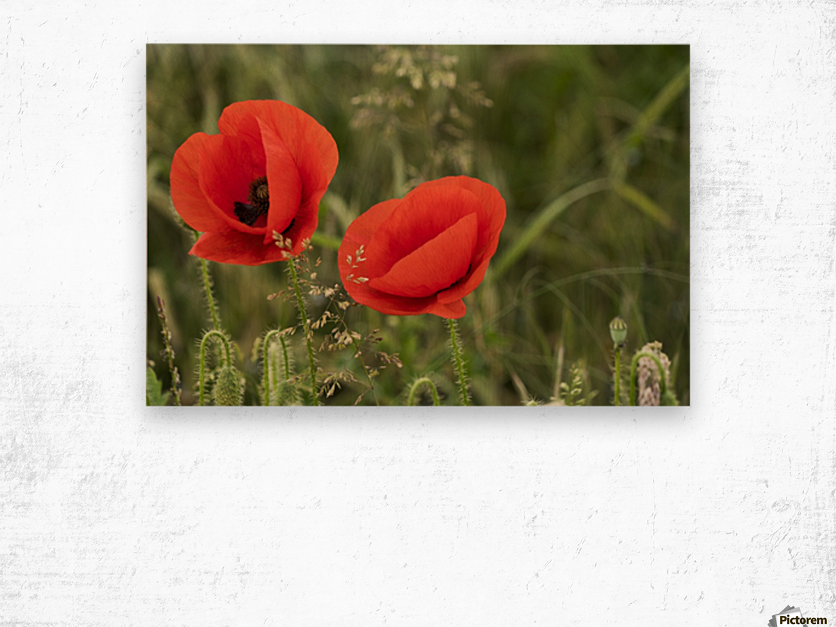 Close up of red poppies blossoming; South Shields, Tyne and Wear, England Wood print