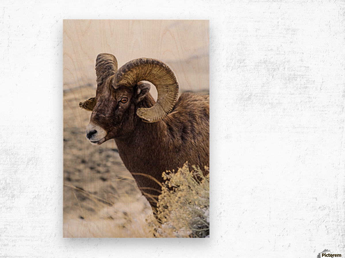 Close up of Bighorn ram (ovis canadensis) with broomed (splintered) horn tips resulting from butting heads with other rams, Shoshone National Forest; Wyoming, United States of America Wood print