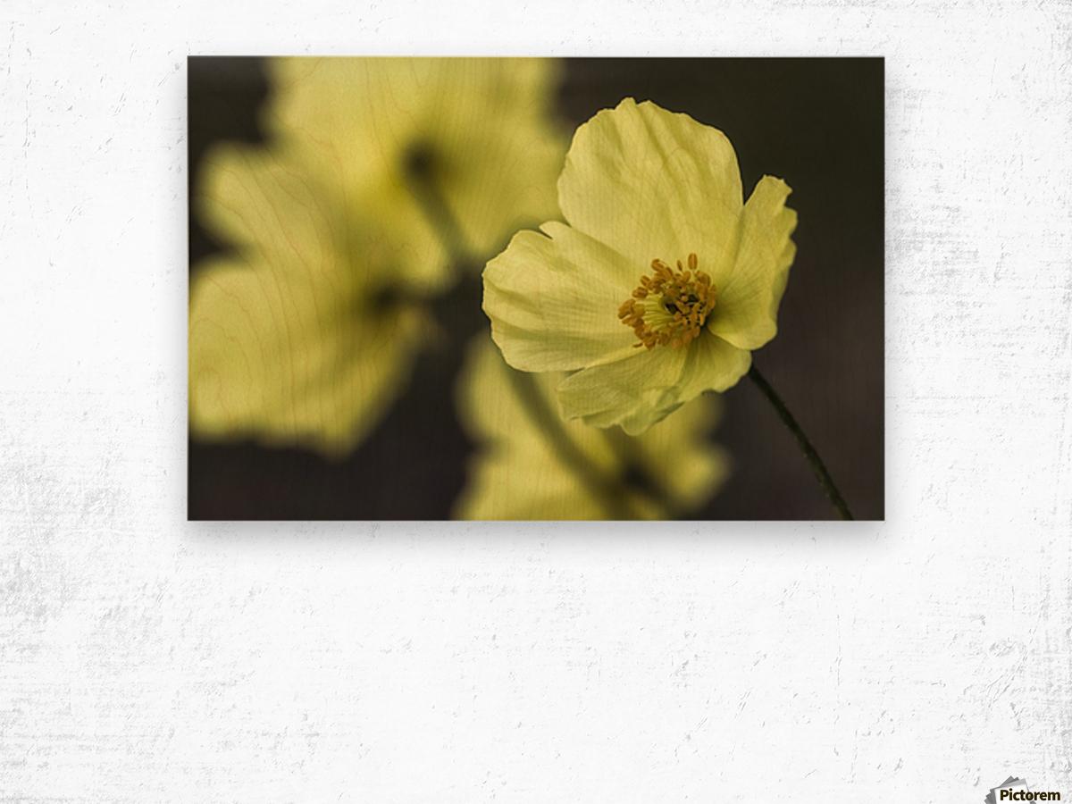 McConnell's Poppy (Papaver mcconnellii); Dawson City, Yukon, Canada Wood print