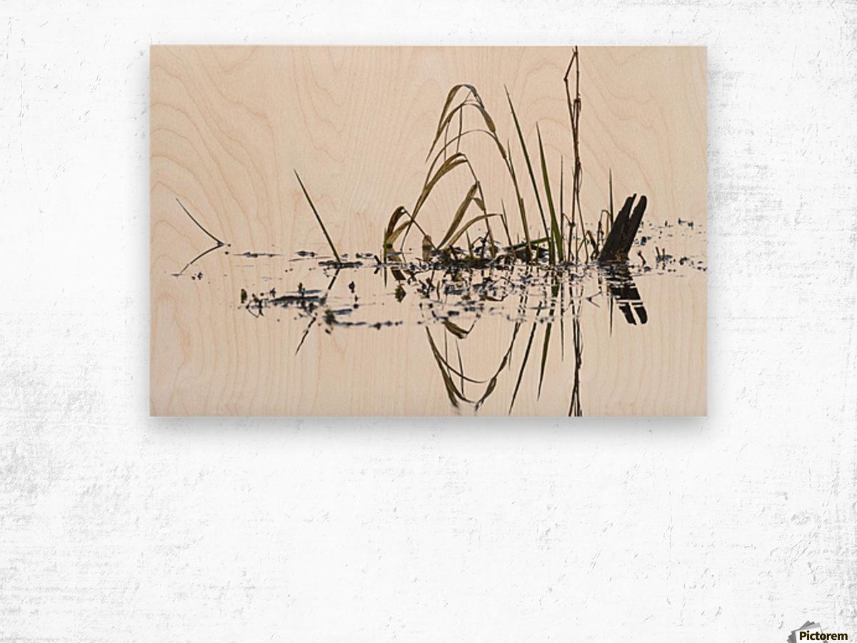 Grass grows in Coffenbury Lake; Hammond, Oregon, United States of America Wood print