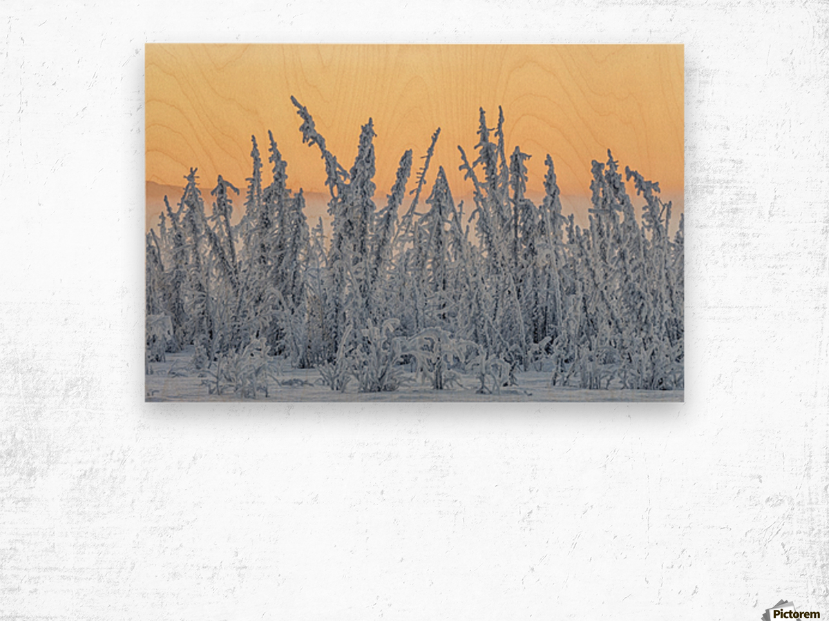 Hoarfrost covers black spruce trees as ground fog and dusk descend on Palmer Hay Flats in South-central Alaska in winter; Alaska, United States of America Wood print