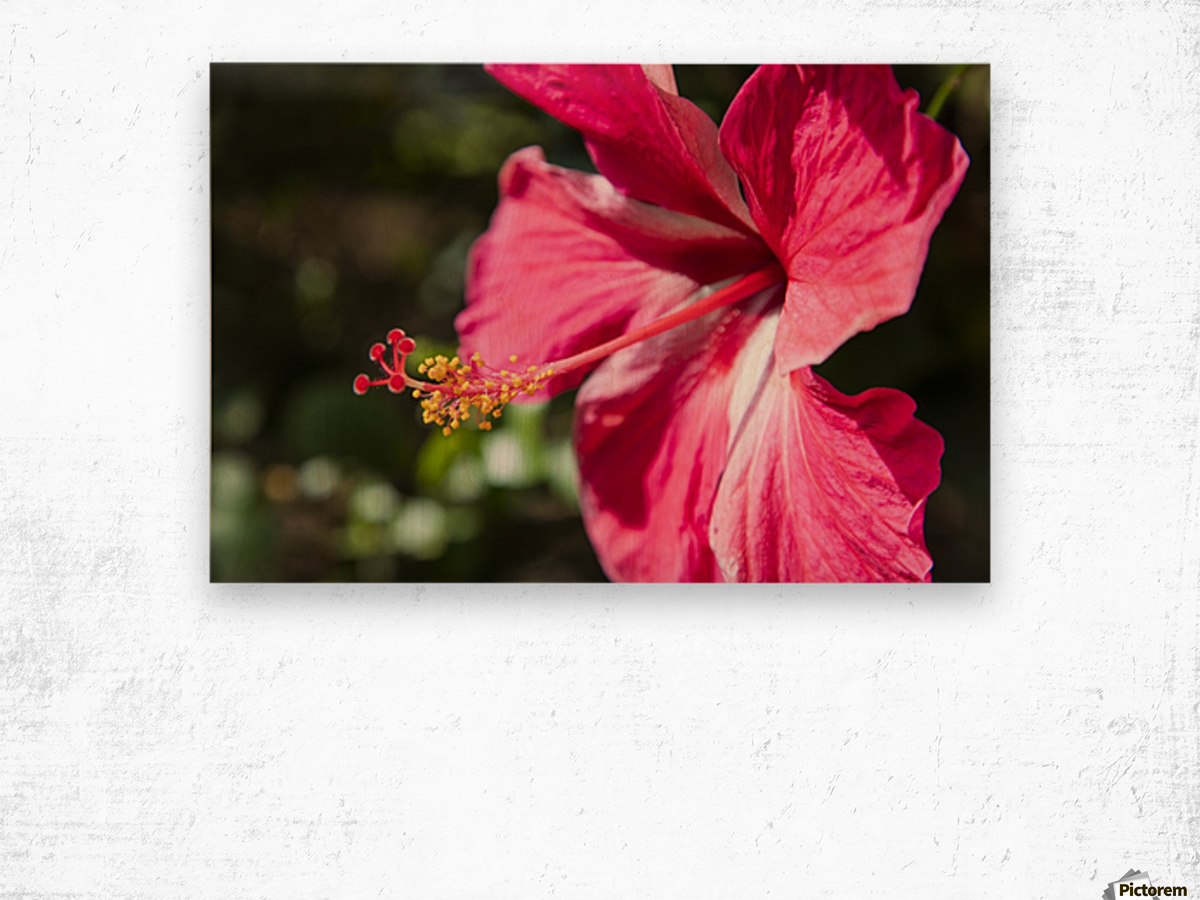 Close Up Of Pink Hibiscus Flower Maui Hawaii United States Of America Pacificstock Canvas Artwork