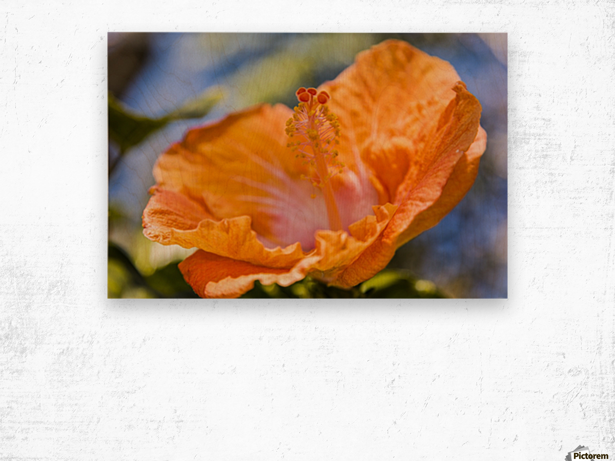 Close-up of orange hibiscus flower; Maui, Hawaii, United States of America Wood print
